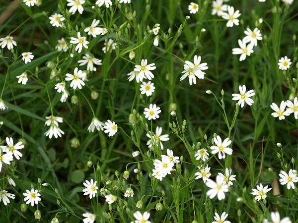 Chickweed Backyard