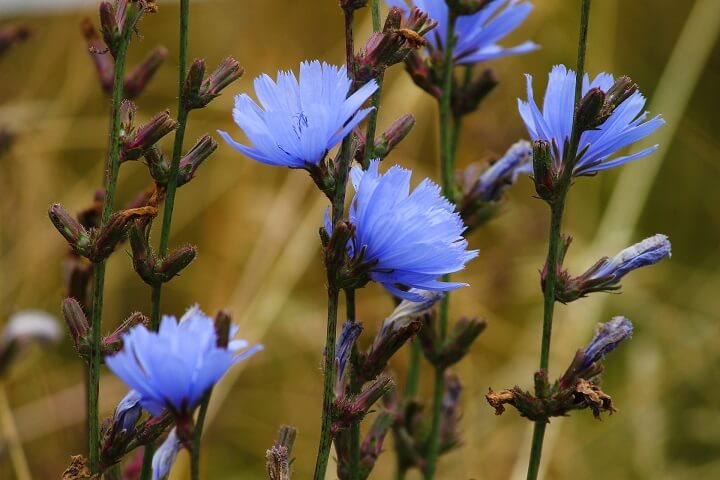Chicory Flowers Blooming