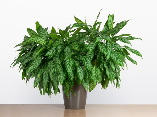Chinese Evergreen Houseplant