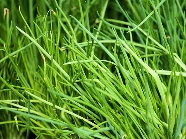 Chives Perennial Herb