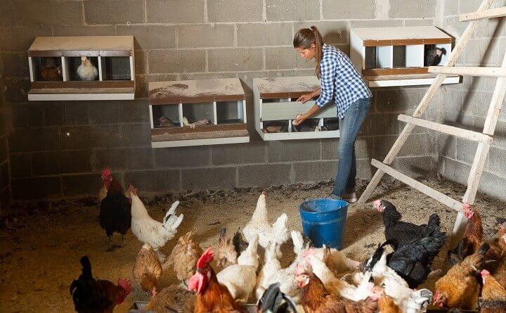 Collecting Eggs In Henhouse