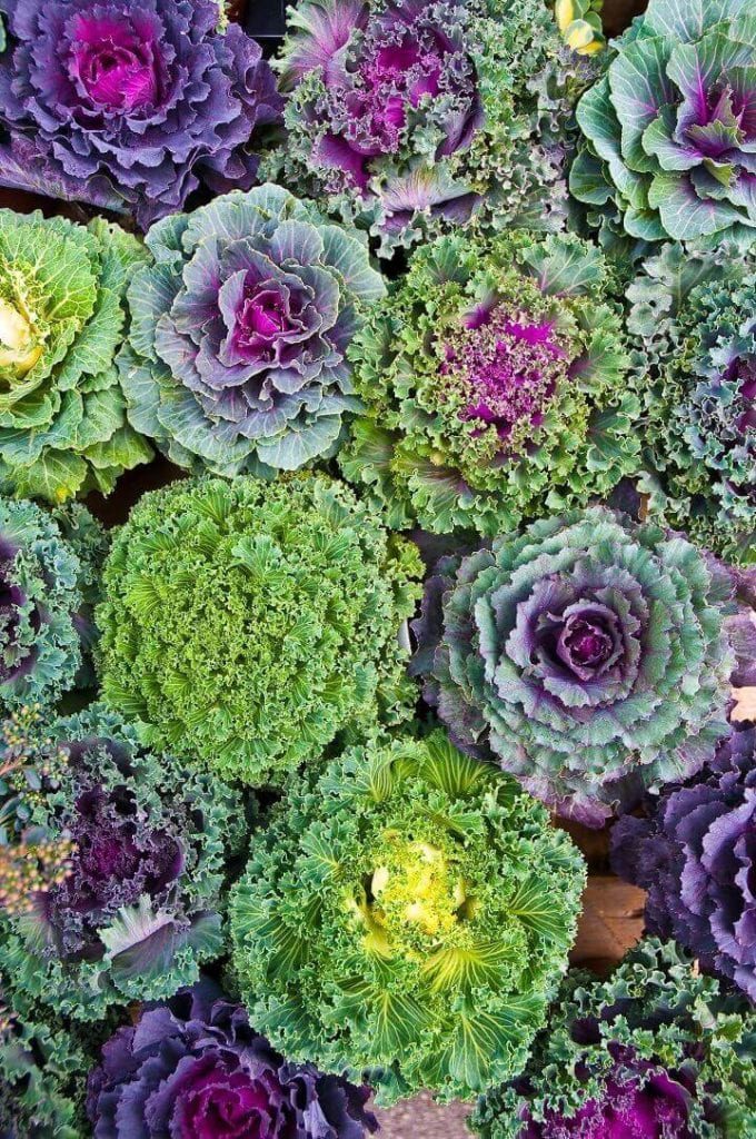 Colorful Cabbage