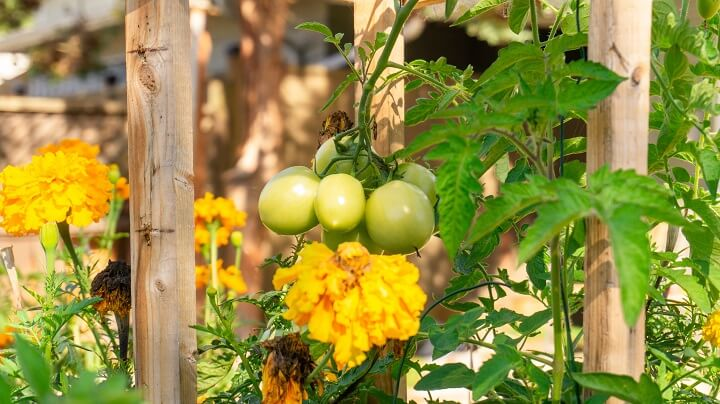 Companion Planting Tomatoes, Marigolds, and Calendula Flowers