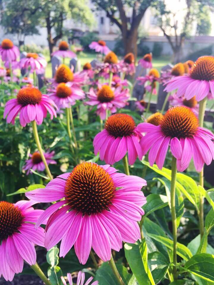 Coneflowers Blooming Outside
