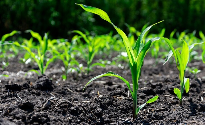 Corn Sprouts in Rows