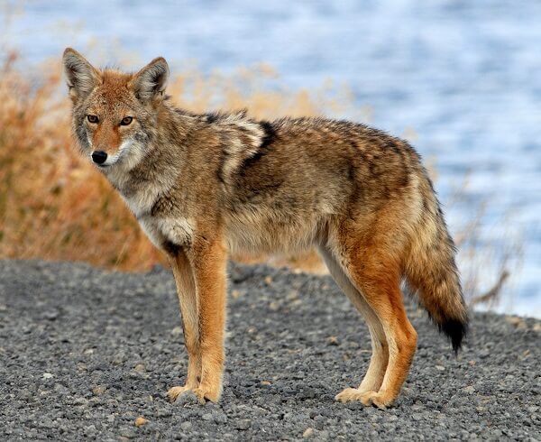Coyote | Predators to Beware Of On Your Homestead
