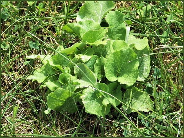 Edible Wild Burdock