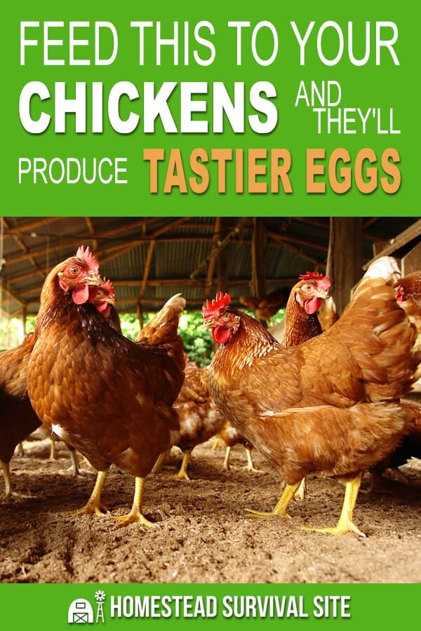 Feed This To Your Chickens and They'll Produce Tastier Eggs
