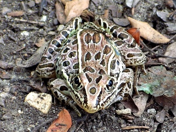 Frog On Ground