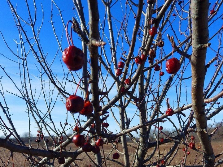 Frozen Crabapples