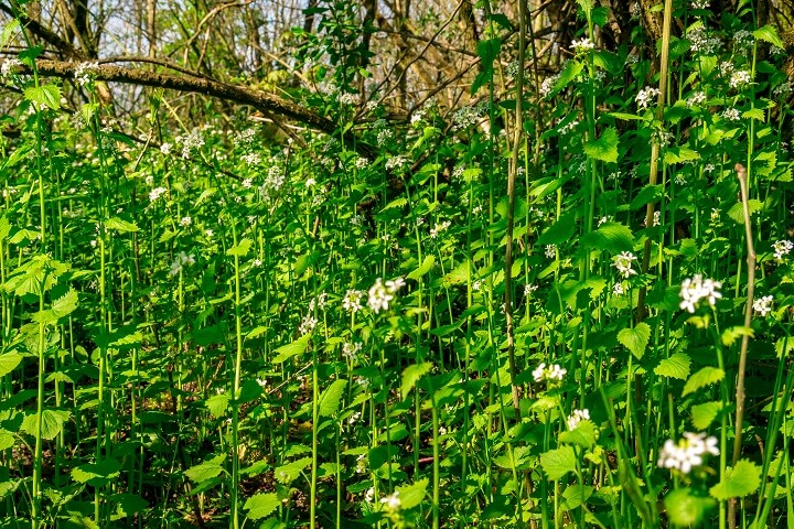 Garlic Mustard Growing Under Trees