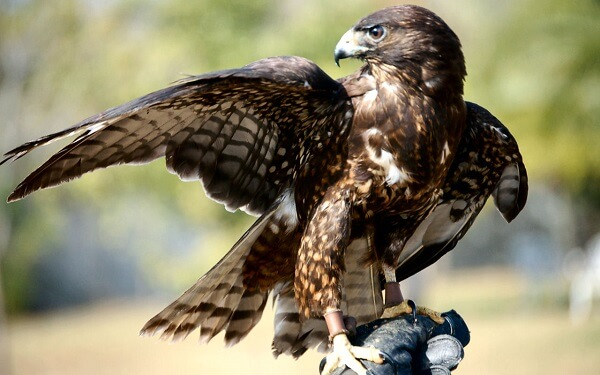 Hawk | Predators to Beware Of On Your Homestead