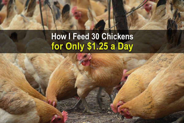 How I Feed 30 Chickens For Only $1.25 a Day