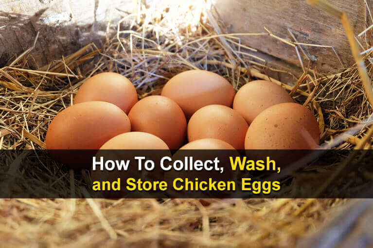 How To Collect, Wash, and Store Chicken Eggs