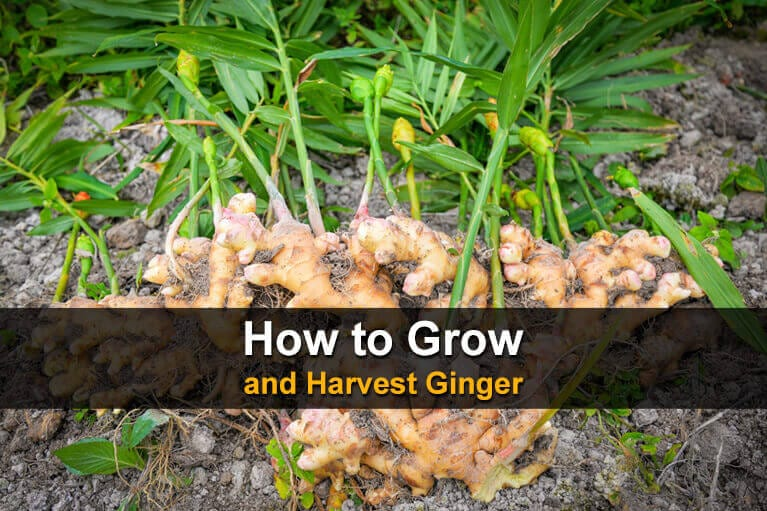How to Grow and Harvest Ginger