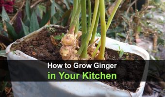 How to Grow Ginger in Your Kitchen