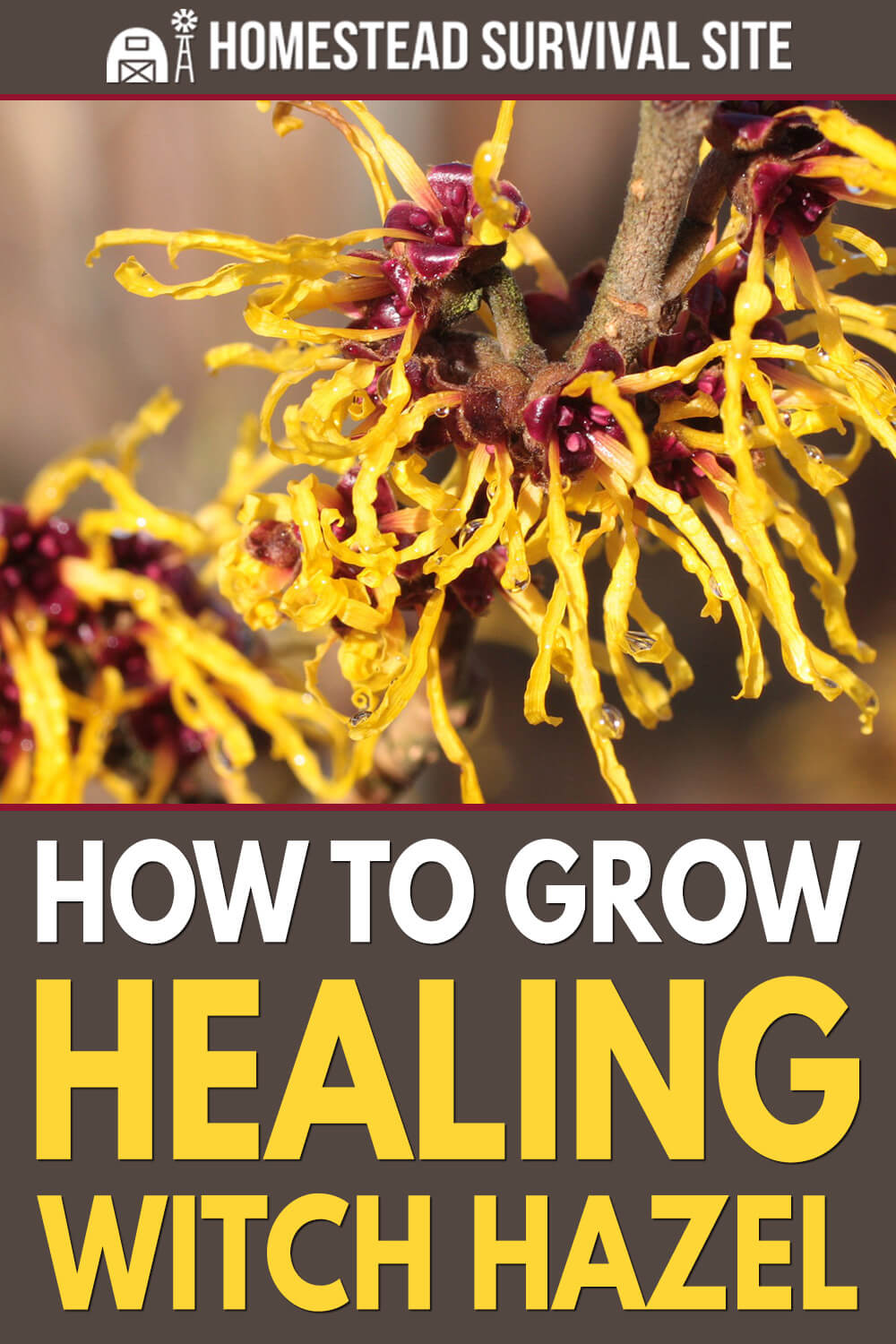 How To Grow Healing Witch Hazel
