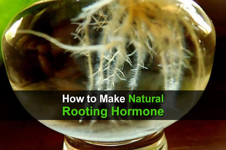 How to Make Natural Rooting Hormone