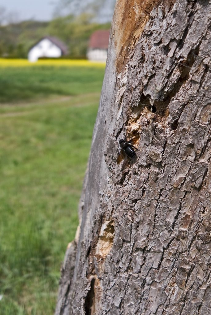 Large Carpenter Bee On A Tree