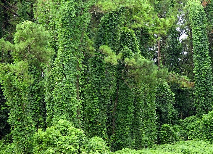 Large Kudzu Vines