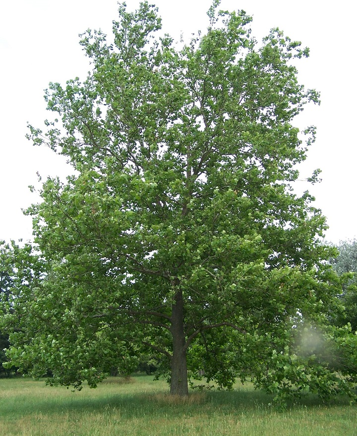 Large Sycamore Tree