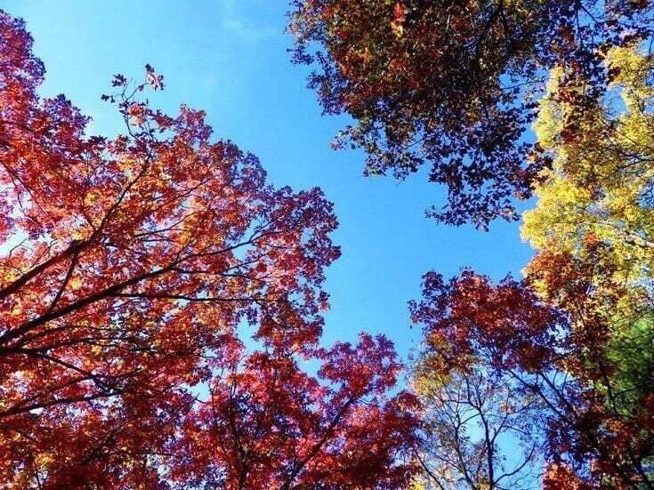 Looking Up At Maple Branches