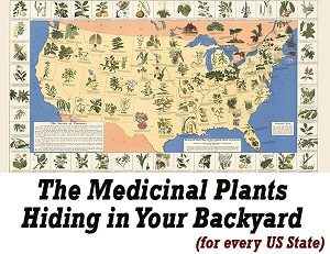 The Medicinal Plants Hiding In Your Backyard