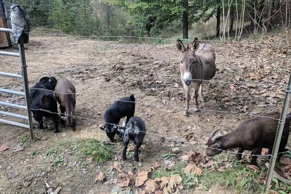 Miniature Donkeys With Goats