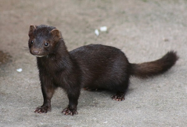 Mink | Predators to Beware Of On Your Homestead