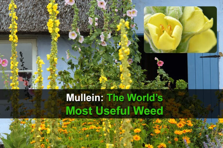 Mullein: The World's Most Useful Weed