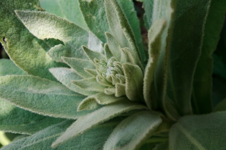 Mullein Weed