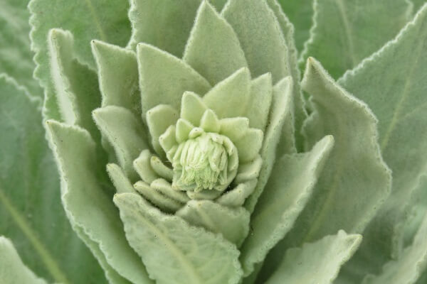 Mullein Leaves | Toilet Paper Alternatives