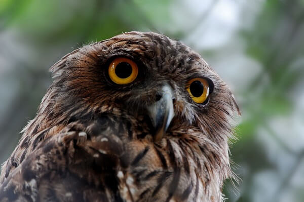 Owl | Predators to Beware Of On Your Homestead