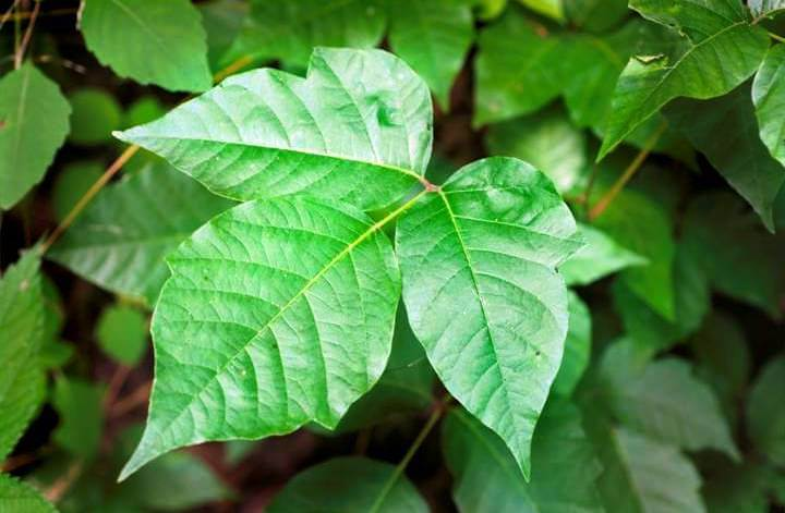 Poison Ivy Leaves