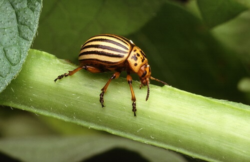 Potato Beetle | Common Garden Pests and How to Deal with Them Naturally