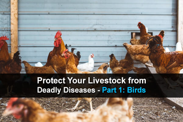 Protect Your Livestock from Deadly Diseases - Part 1: Birds