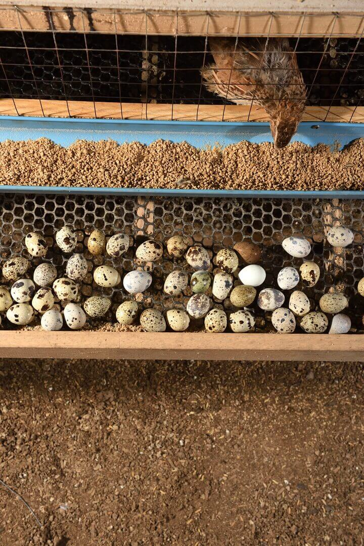 Quail and Eggs in a Cage