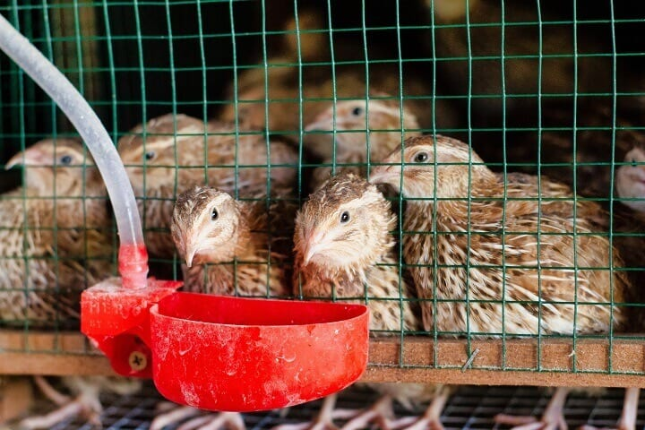 Quail Drinking Water In Cage