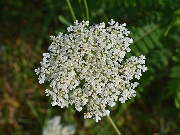 Queen Anne's Lace Weed