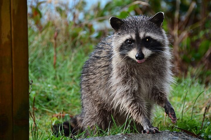Raccoon By Fence