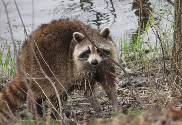 Raccoon | Predators to Beware Of On Your Homestead