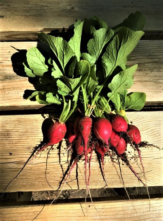 Radishes From Leaves To Stem To Root