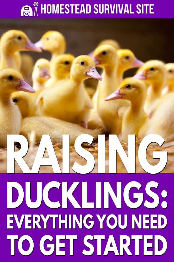 Raising Ducklings: Everything You Need To Get Started