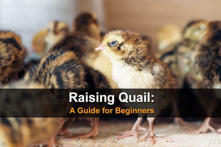 Raising Quail: A Guide for Beginners