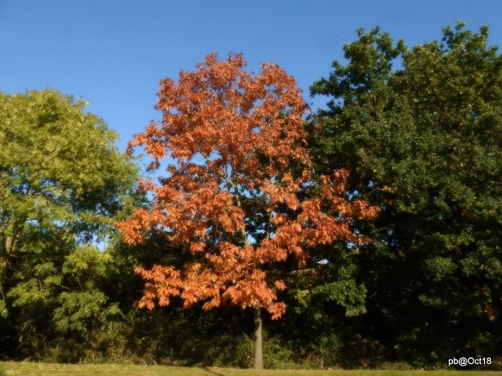 Red Maple Tree With Red Leaves