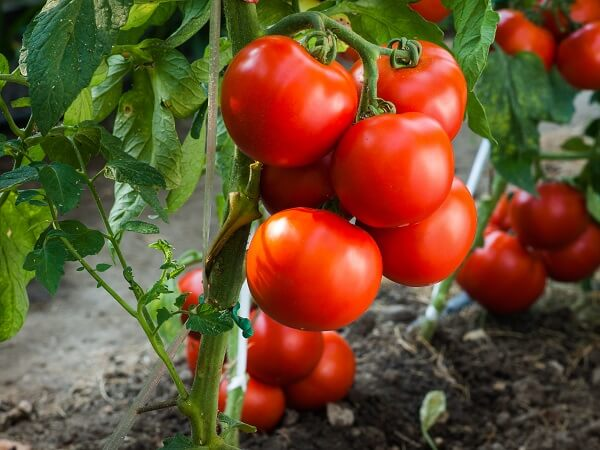 Ripe Tomatoes in Garden