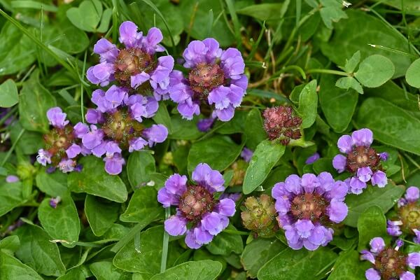 Self Heal Flower and Leaves