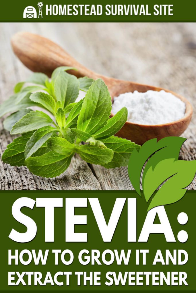 Stevia: How to Grow It and Extract the Sweetener