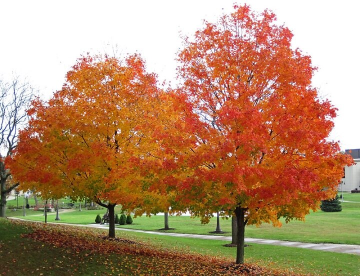 Sugar Maple Trees in a Park