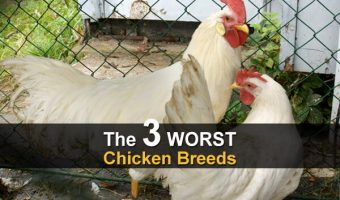 The 3 WORST Chicken Breeds
